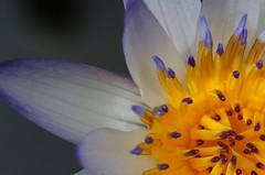 睡蓮 Water lily (Explored) photo by ddsnet