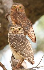 Série com a Coruja-buraqueira (Speotyto cunicularia) - Series with the Burrowing Owl 18-01-2008 340 photo by Flávio Cruvinel Brandão