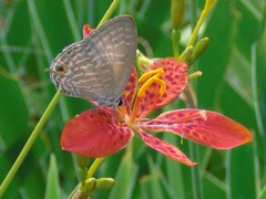 Blackberry Lily: With  a butterfly