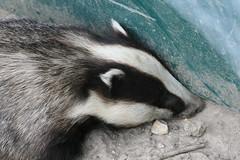Badger photo by captainmcdan