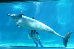 Dolphin's genital pore(イルカの生殖孔)