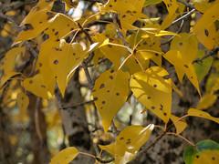 20071014 Aspen Leaves