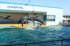 Dolphins jumping in unison!
