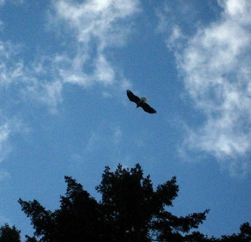Eagle at Idylwood