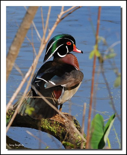 Wood Duck - Aix sponsa at Audubon Park photo by Larry Daugherty ~ Back from long vacation :-)