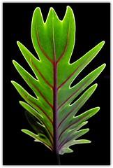 A Simple Leaf photo by Carlos Porto