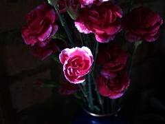Carnations, 2/16/06