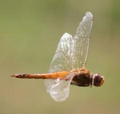 Libélula - Dragonfly 056 - 4 photo by Flávio Cruvinel Brandão
