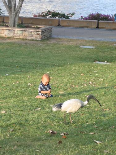 angus_ibis_1