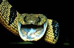 Snakes, Venomous and Nonvenomous - Dr. Zoltan Takacs