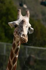 Giraffe-06