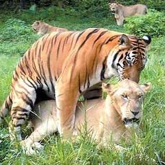 Tiger sex 1