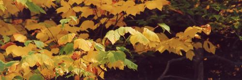 vtpano102-Yellow-Maple-Magic