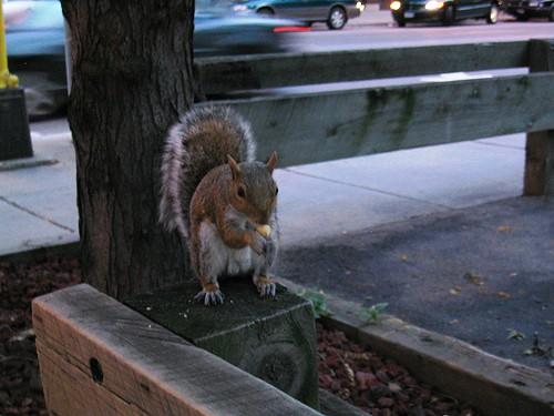 city squirrel II
