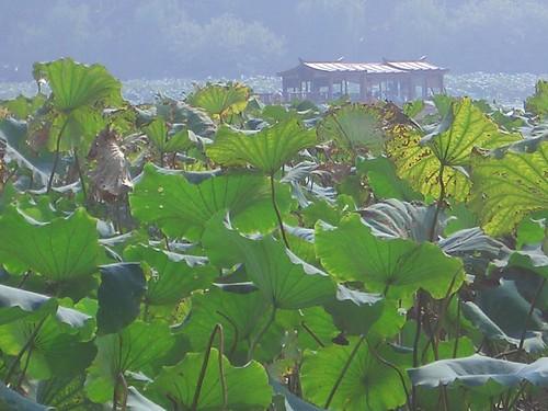 Lotus plants!
