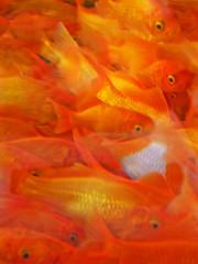 goldfish*goldfish