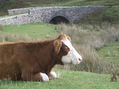 cow@Isle of Jura
