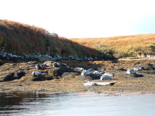 Dia 06 - 11 -Skye Island - Seals