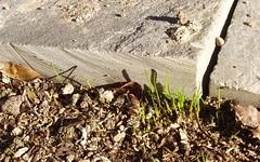 grasslings