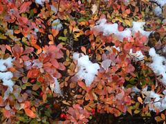 brilliant autumn shrub with snow