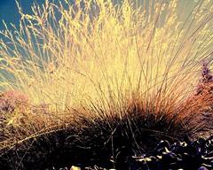 FireLight SunLight Grass
