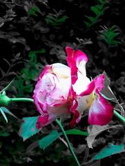 rose, 181105