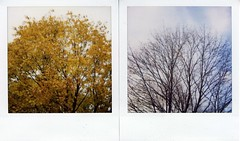 The Maple Tree