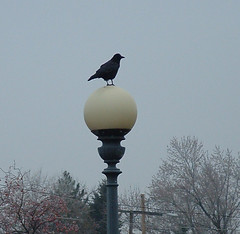 crow on a street light