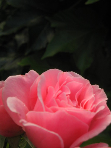 rose à l'oeil