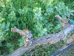 two spurs post pruned