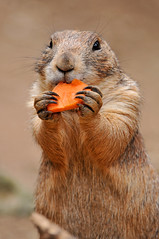Carrots are healthy! photo by Tambako the Jaguar