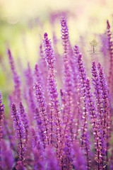 Lavanda photo by Just a Click {♥ fotografie ♥}