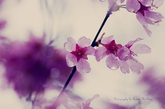 Pink Blooms & Bokeh photo by Andrea McClain
