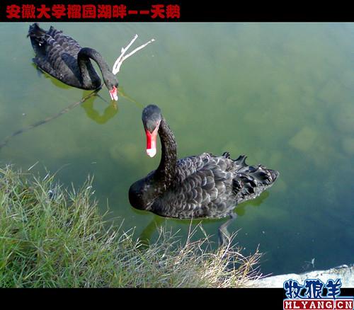 安徽大学榴园湖畔天鹅_14