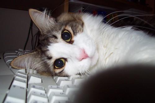猫为什麼喜欢睡在电脑上 - 猫猫论坛 - mypet宠物闲情