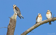 WHITE-TAILED KITES photo by sea25bill
