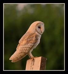Barn owl 2 photo by GG82