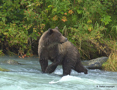 Grizzly Chasing Salmon photo by William  Dalton