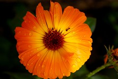 After rain, Orange & yellow flower Calendula officinalis, Pot Marigold or Scotch Marigold photo by natureloving