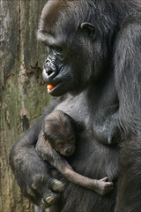 Gorilla mother with baby photo by Foto Martien