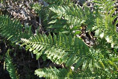 10b. Western Bracken fern? Photo