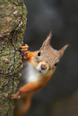 A red squirrel peeking from behind a tree photo by Arkku