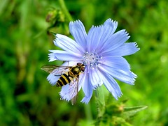 Flower Fly on Chicory photo by mudder_bbc