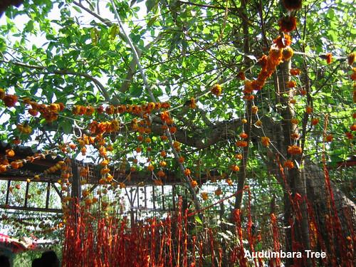Audumbara Tree