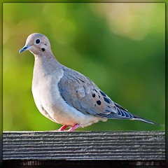 Birds in our garden: Mourning Dove photo by Images by John 'K'