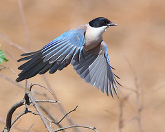 Pega-azul / Azure-winged magpie photo by António Guerra