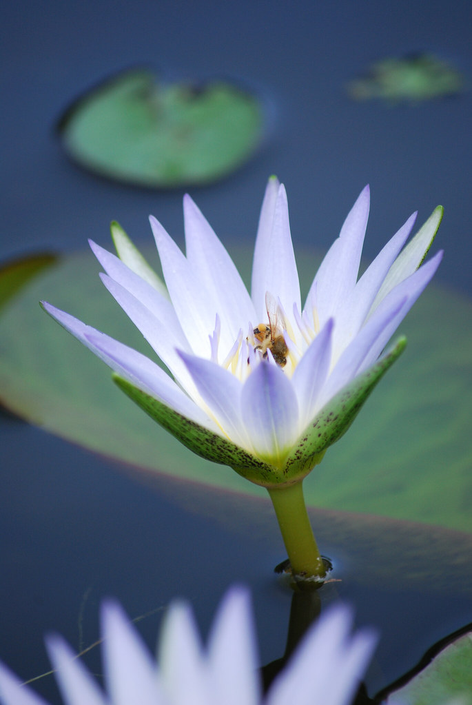 Waterlily photo by Carmelo61 PhotoPassion Thanks