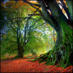 Autumn Beech photo by angus clyne