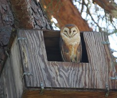 Barn owl (Tyto alba) photo by sdttds
