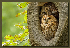 Tawny Owl photo by hvhe1